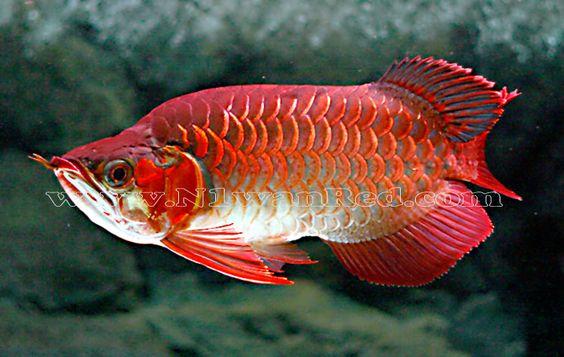 Blood red arowana loves hikari food sticks http www for Freshwater dragon fish