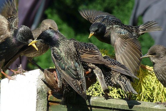 Get Rid of Starlings - Easy, Safe Tips That Really Work