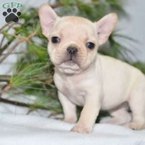 Jewel French Bulldog Puppy For Sale In Ohio Bulldog Puppies