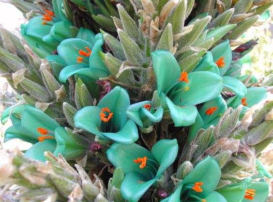 The Turquoise Puya grows in soil, and can be treated much like a cactus or succulent.  It is hardy in zones 8b-11.  Mature plants are said to survive temperatures down to 18-20 degrees F (-7°C) if kept relatively dry.
