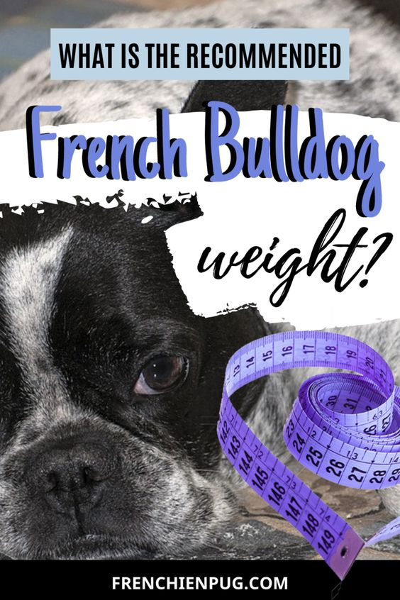 What Is The Recommended French Bulldog Weight French Bulldog
