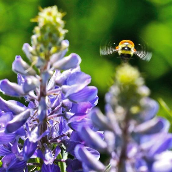 To the excitement of bees and people #lupine are blooming! #CrestedButte #cbcolors #wildflowers #purple #bee @crestedbuttewildflowerfestival @crestedbuttecolors  Photo: @chris_segal