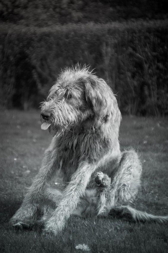 .: Bleh  Irish wolfhound:. by Frank-Beer.deviantart.com on @deviantART
