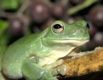 White's Tree Frog care sheet
