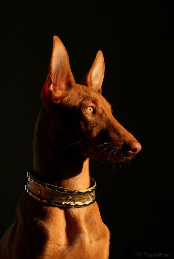 Pharaoh Hound Zonda -