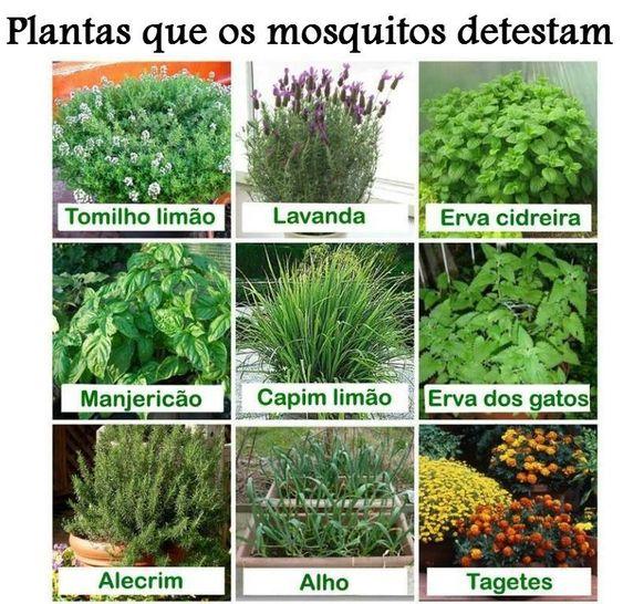 Plantas que os mosquitos detestam.