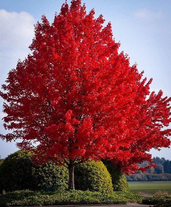 34 Fast Growing Shade Trees That Are Summer Approved Fast Growing Shade Trees Red Maple Tree American Red Maple Tree