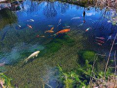 Koi Koiteich Gartenteich naturnah Schwimmteich (Regenbogenelritzen & Springbarsche) Tags: aquarium pond koi tier darter caeruleum schwarm aquaristik fischteich gartenteich zucht naturnah schwimmteich etheostoma notropis koiteich colorfire aquarienfisch chrosomus springbarsch rainbowshiner kaltwasserfisch teichfisch notropiszucht regenbogenelritzenzucht wildfische blauflossenorfe regenbogenorfe typwpcolorfire regenbogenshiner