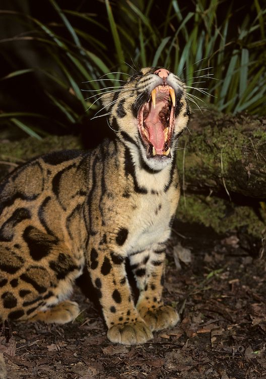 Male Clouded Leopard Neofelis Nebulosa Showing Long Canine Teeth Captive Clouded Leopard Wild Cats Large Cats