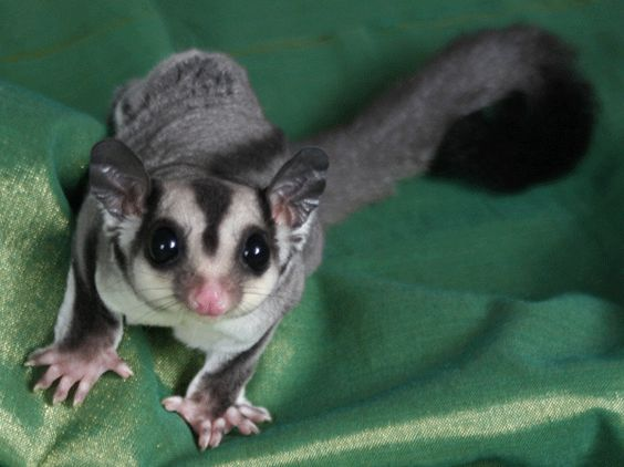 So I meet the cutest little pet ever today ... a wee sugar glider! At the flea market here in Kentucky they sell these little sweetie buns as pets and ohhh they are a cuddly marsupial like the koala bear I held in Australia ...LZ