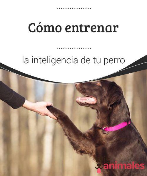 Cómo Entrenar La Inteligencia De Tu Perro Hay Muchos Trucos Y Consejos Para Entrenar La Inteligencia De Tu Adiestramiento Perros Entrenamiento Perros Perros