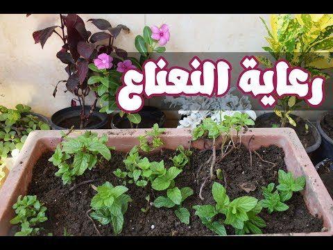 طريقة رعاية النعناع في المنزل ري وتسميد وشمس لاعطاء اكبر انتاج Youtube Plants Greenhouse Farm
