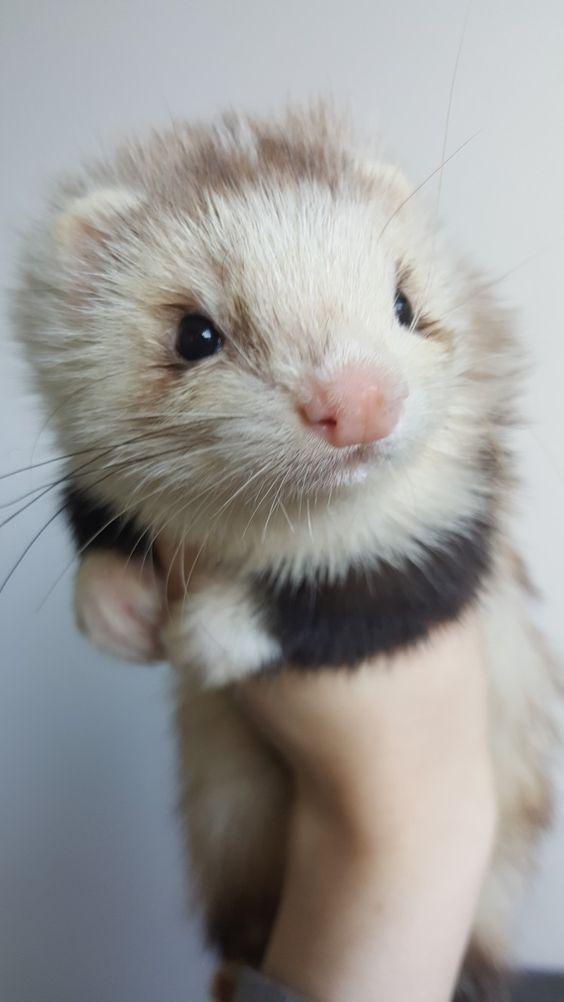 Ferret Baby Pet Ferret Baby Ferrets Cute Ferrets