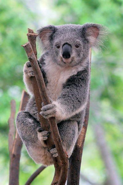 Koalas Eating Eucalyptus Leaves