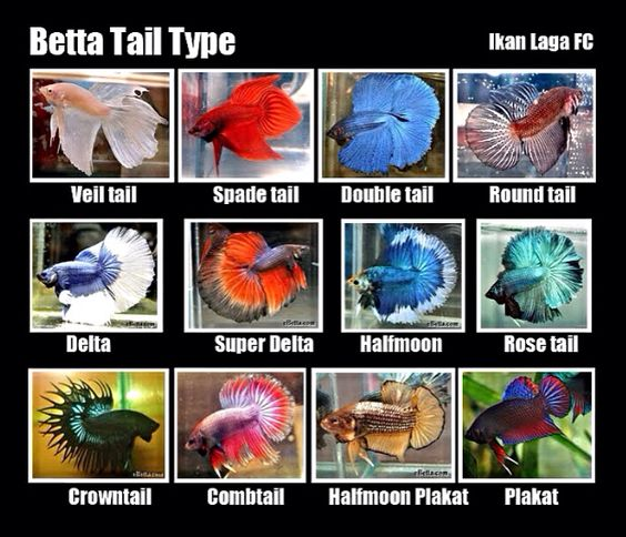 Tail Types   Betta Fish