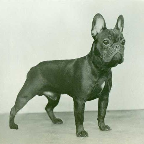 French Bulldog Dog Breed Information Bulldog Breeds French