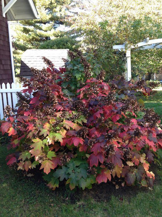 Oak Leaf Hydrangea. Great flowering shrub that also has beautiful fall foliage.