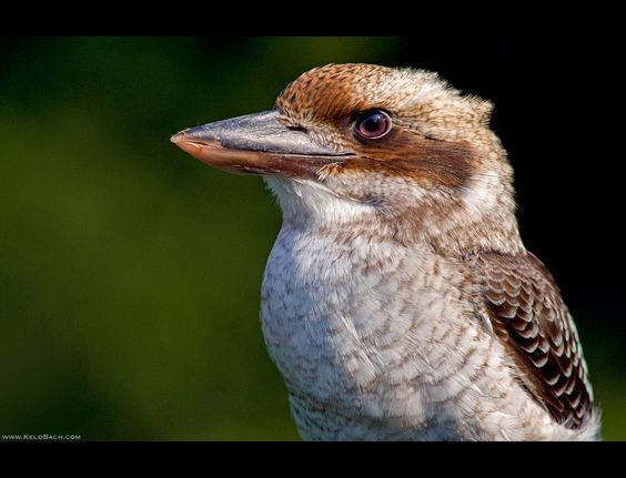 Kookaburra Profile by KeldBach on DeviantArt