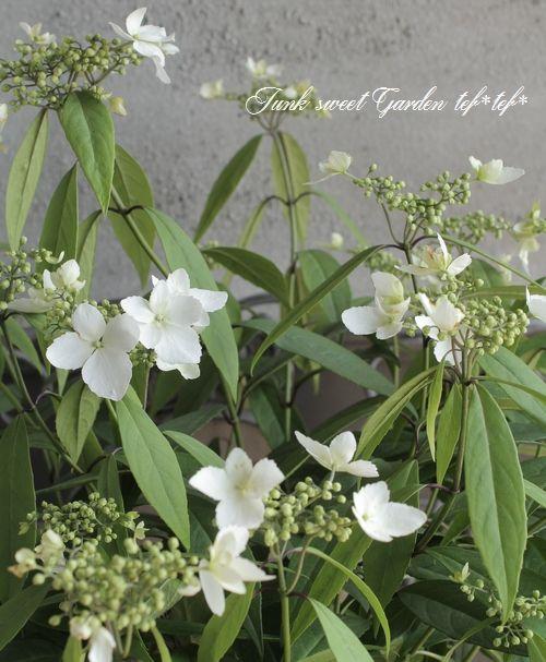 台湾トキワアジサイ カラコンテリギ Junk Sweet Garden Tef Tef 2020 アジサイ 開花 白い花