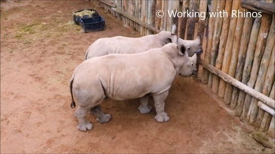 A Trio of Orphaned Baby Rhinoceros Relentlessly Whimper For Another Serving of Milk
