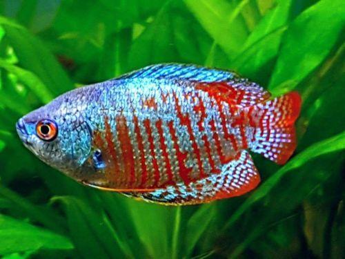 Pair Rainbow Dwarf Gourami 4cm Actual Picture Of Fish Fish Fishing Pictures Aquarium Fish
