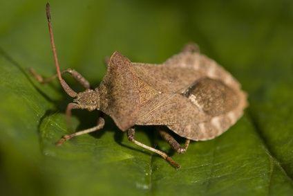 Home Remedies for Stink Bug Infestation