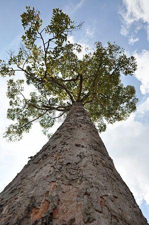 Gran árbol - buscar ángulo Foto de archivo - 16164451