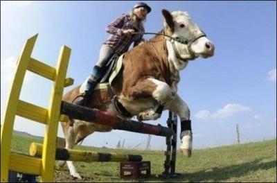 C'est vrai qu'il existe une vache qui est montée et qui fait du saut d'obstacle ?