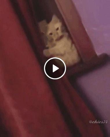 Puxando a cortina gato curioso.