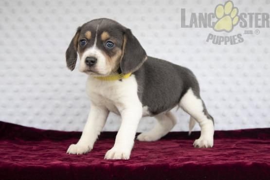 Sky Blue Coloring Blue Eyes Beagle Puppy For Sale In