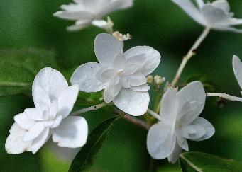 Hydrangea serrata 'Shiro Fuji' syn. 'Shirahuzi', Hydrangea serrata ssp. angustata 'Shiro Fuji'