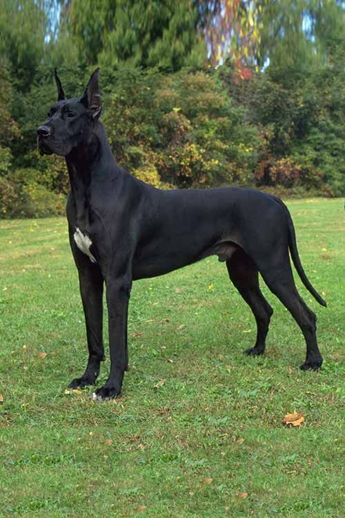Great Dane Dog Breed Information Great Dane Dogs Dog Breeds