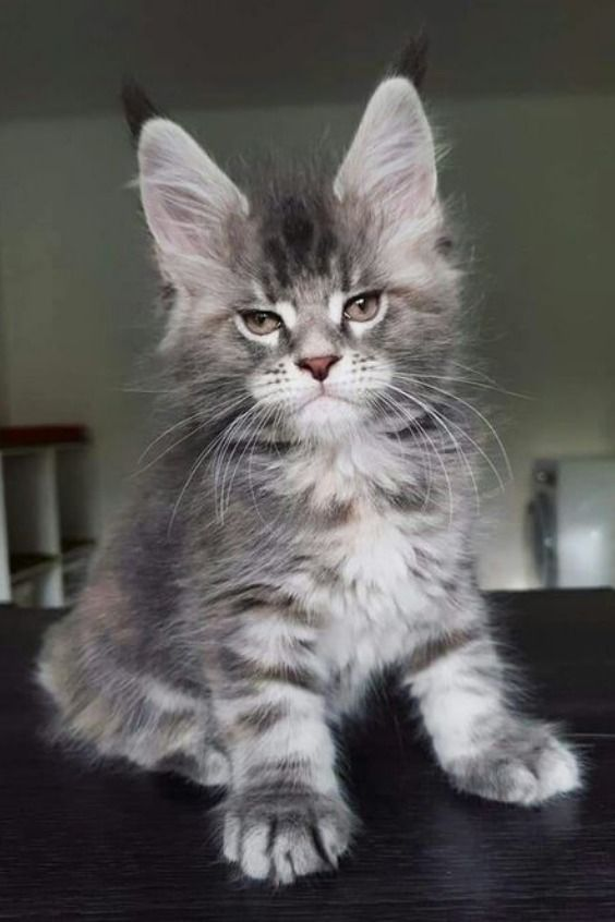 Pin On Maine Coon Characteristics