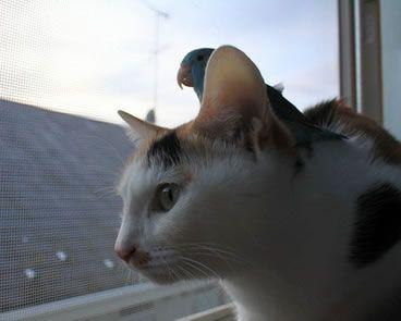 猫を操縦するインコ