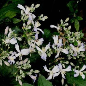 clematis jouiniana praecox has masses of small mauve white. Black Bedroom Furniture Sets. Home Design Ideas