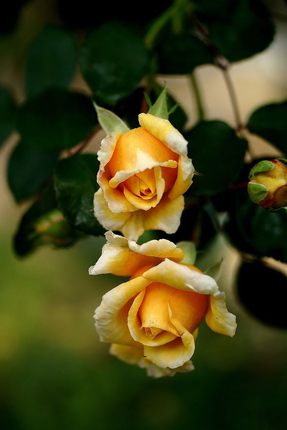 Rosa / Rose: