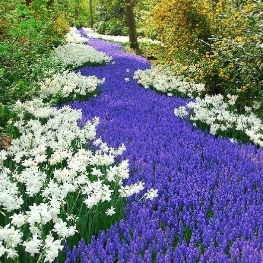 Grape Hyacinth Bulbs Muscari Armeniacum Pre Sale Now Ships Fall 2020 Bulb Flowers Muscari Planting Bulbs