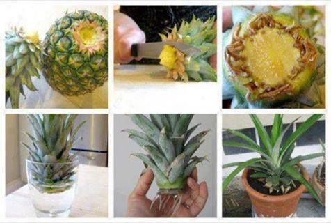 GROW A PINEAPPLE PLANT  Cut the top off of your fresh pineapple. Place it in a bowl of water. Set on the counter INDOORS. Change the water every other day in the bowl. In about 3 weeks you will start seeing roots growing from the bottom of the plant. Once you see the roots reach about 1 inch long,you are now ready to transfer the plant to a flower pot. Use miracle grow garden soil. Transplant to bigger pot as needed. Don't just LIKE it, SHARE it so your friends see it! It also saves it in…