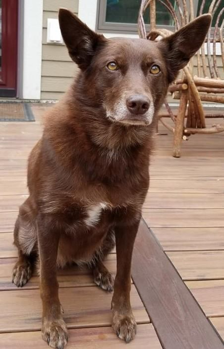Lost Dog Underwood Australian Kelpie Border Collie Mix Male Date Lost 09 20 2018 Dog S Name Red Breed Of Dog Australian Kelpi Losing A Dog Dogs Dog Ages