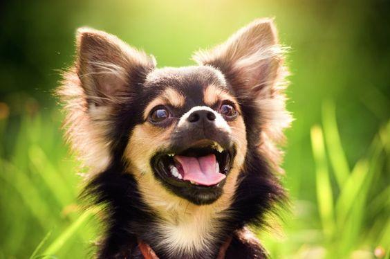 Kleiner Hund ganz groß: Chihuahua in Nahaufnahme — Bild: Shutterstock / gillmar    www.einfachtierisch.de