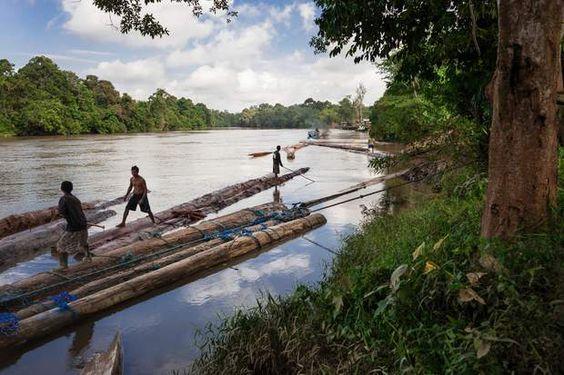 Le bois dévale les fleuves vers la mer de JavaLe cours du Lamandau, qui irrigue le sud de Bornéo, traverse un patrimoine forestier de 26 millions d'hectares aujourd'hui menacé par l'extraction minière et l'exploitation forestière. Dans les clairières dégagées, pousseront de nouvelles plantations de palmiers à huile.