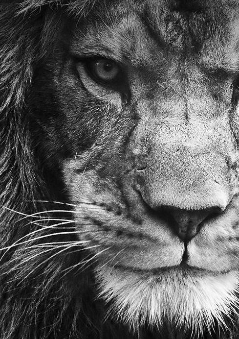 Ansichtkaart gefotografeerde leeuw in zwart-wit. Fotografie dieren kaart monochrme decoratie foto sfeerbeeld