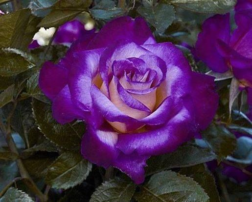Purple Rose: