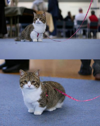 To find out, Short legs and Dwarf cat on Pinterest