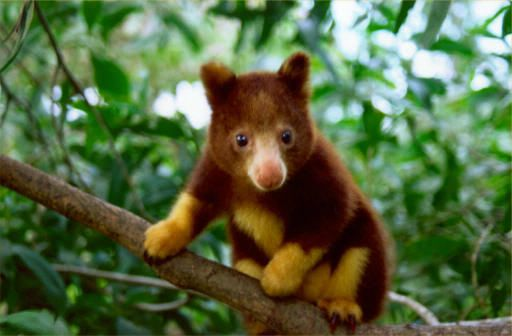 The golden-mantled tree-kangaroo, Dendrolagus pulcherrimus is an ...