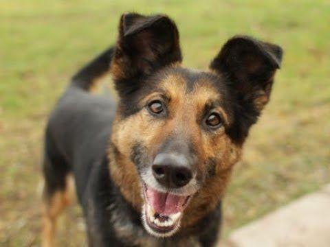 Funny Cutest German Shepherd Puppies Videos Compilation 9