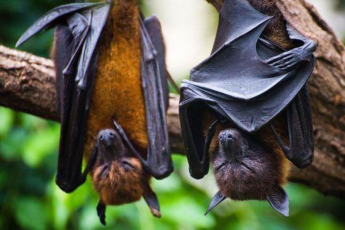 Bat Control Services - Bat Exterminator Rio Grande Valley Tx ...
