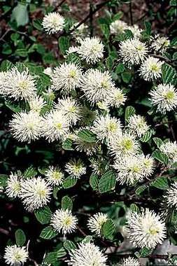 Fothergilla Gardenii  (Alder, Witch Alder) for under the pine trees
