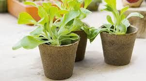 Macetas biodegradables para as nosas sementes