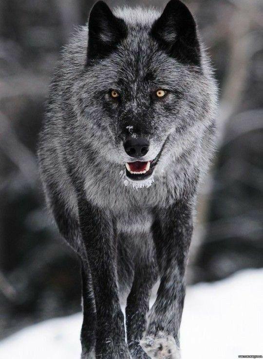 Animals Monsta X Ff In 2020 Wolf Hunde Tier Wolf Wolf Bilder